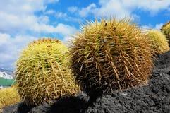 Planta suculenta redonda Foto de archivo