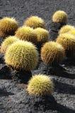Planta suculenta redonda Fotografía de archivo libre de regalías