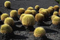 Planta suculenta redonda Imagen de archivo