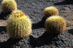 Planta suculenta redonda Fotografía de archivo