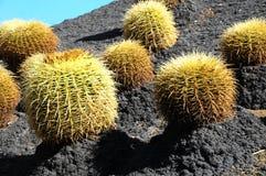 Planta suculenta redonda Imagen de archivo libre de regalías