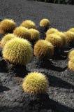 Planta suculenta redonda Foto de archivo libre de regalías