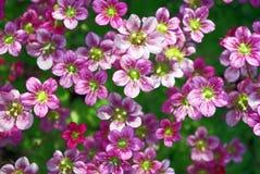 Planta suculenta (uva de gato o Sedum) Foto de archivo libre de regalías