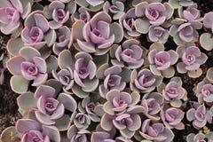 Planta suculento Fotografia de Stock Royalty Free