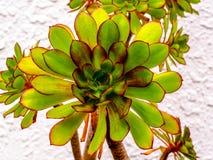 Planta suculento brilhante, Jovibarba, com bordas vermelhas e formigamentos minúsculos imagens de stock