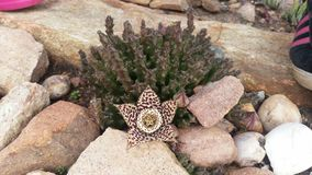 Planta suculento de florescência Imagem de Stock