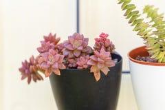 Planta suculento do perfolata de Sedum e de Crassula no potenci?metro de flor no fundo do whte imagem de stock royalty free