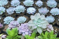 Planta suculento dos canteiros de flores no jardim Imagens de Stock