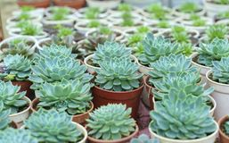 Planta suculento dos canteiros de flores no jardim Fotografia de Stock Royalty Free
