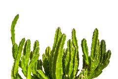 Planta suculento dos leendertziae do Stapelia com as hastes carnudos verdes, isoladas no fundo branco imagens de stock