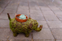 Planta suculento e potenciômetro sob a forma do verde um elefante Fotos de Stock