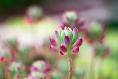 Planta suculento em fundo unfocused Fotografia de Stock
