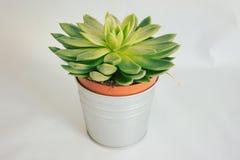 Planta suculento em um potenciômetro fotografia de stock royalty free