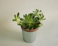 Planta suculento em um potenciômetro fotografia de stock