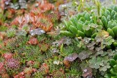 Planta suculento molhada após a chuva - galinha e pintainhos e rastejamento Fotos de Stock Royalty Free