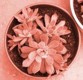 Planta suculento na cor coral de vida Cor de Pantone do conceito 2019 do ano fotografia de stock