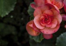 Planta suculento vermelha pequena na luz do sol Fotografia de Stock Royalty Free