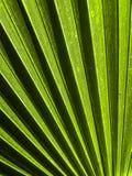 Planta Tailândia da palma Imagem de Stock