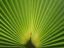 Planta Tailândia da palma Fotos de Stock