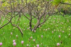 Planta tailandesa de las flores del lirio Foto de archivo
