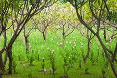 Planta tailandesa de las flores del lirio Fotografía de archivo