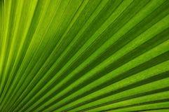 Planta Tailandia de la palma Imágenes de archivo libres de regalías