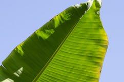 Planta Tailandia de la palma Fotografía de archivo