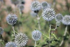 Planta Thistly do echinops no verão Imagens de Stock