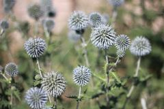 Planta Thistly do echinops no verão Imagem de Stock Royalty Free