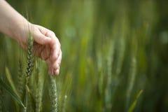 Planta tocante do trigo da mão da criança foto de stock
