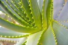 Planta tropical - agave imagem de stock