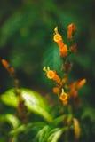 Planta tropical alaranjada amarela Fotografia de Stock