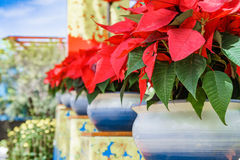 Planta tropical com folhas vermelhas Fotos de Stock