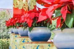 Planta tropical com folhas vermelhas Foto de Stock