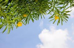Planta tropical con colores amarillos contra la perspectiva del cielo azul y de las nubes blancas Imagen de archivo