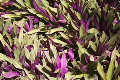 Planta tropical con las hojas púrpuras Fotografía de archivo libre de regalías