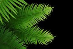 Planta tropical da folha da samambaia das folhas do verde da floresta úmida no fundo preto fotos de stock royalty free