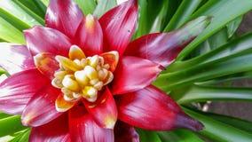 Planta tropical de la flor de la piña Fotografía de archivo