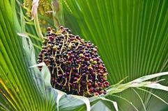 Planta tropical de las bayas de la palmera de Lolou Imagen de archivo