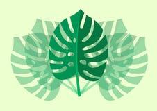 Planta tropical de Monstera da folha isolada na luz - fundo verde Ilustração do vetor Foto de Stock