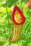Planta tropical del carnívoro de Nepenthe fotografía de archivo libre de regalías