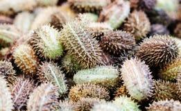 Planta tropical del pepino del africanus salvaje africano del Cucumis Profundidad baja de la foto del campo foto de archivo libre de regalías