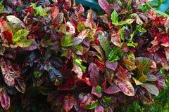 Planta tropical después de la precipitación/del Croton imagenes de archivo