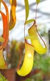 Planta tropical do carnívoro de Nepenthe Imagens de Stock