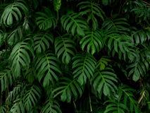 A planta tropical do philodendron verde do monstera sae do fundo da videira, contexto foto de stock royalty free