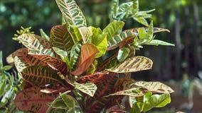 Planta tropical ornamental con las hojas amplias iluminadas por el sol y movidas por el viento almacen de metraje de vídeo