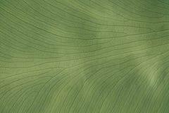 Planta tropical verde de las hojas del fondo Palmera tropical del follaje verde de la textura Foto de archivo libre de regalías