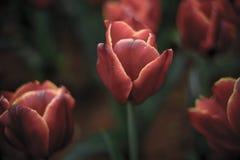 Planta: tulipas de florescência do vermelho de vinho imagens de stock royalty free