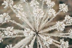 Planta Umbelliferous coberta com os cristais gelados Fotos de Stock