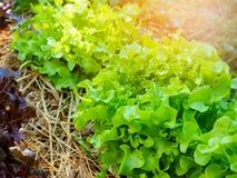 Planta vegetal da alface do carvalho verde e vermelho na exploração agrícola Imagens de Stock Royalty Free